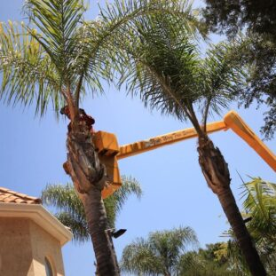 Palm Tree Trimming-Santee CA Tree Trimming and Stump Grinding Services-We Offer Tree Trimming Services, Tree Removal, Tree Pruning, Tree Cutting, Residential and Commercial Tree Trimming Services, Storm Damage, Emergency Tree Removal, Land Clearing, Tree Companies, Tree Care Service, Stump Grinding, and we're the Best Tree Trimming Company Near You Guaranteed!