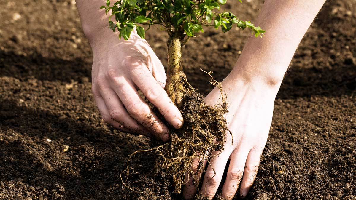 Tree Planting-Santee CA Tree Trimming and Stump Grinding Services-We Offer Tree Trimming Services, Tree Removal, Tree Pruning, Tree Cutting, Residential and Commercial Tree Trimming Services, Storm Damage, Emergency Tree Removal, Land Clearing, Tree Companies, Tree Care Service, Stump Grinding, and we're the Best Tree Trimming Company Near You Guaranteed!